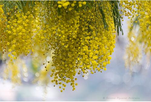 Questa immagine ha l'attributo alt vuoto; il nome del file è mimosa-susanna.png