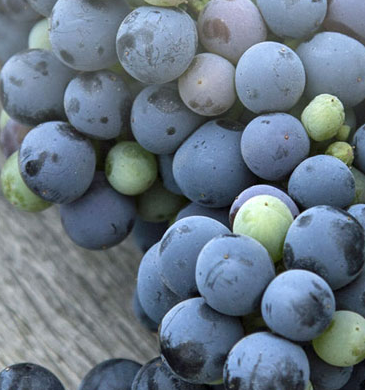 l'uva da cui si parte per il Balsamico di Modena