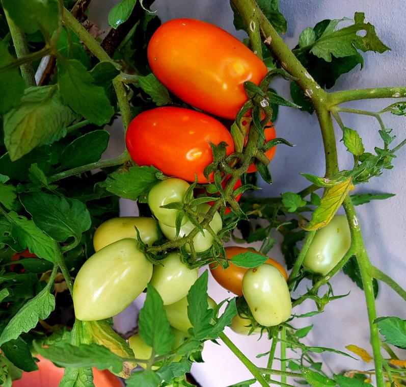 Questa immagine ha l'attributo alt vuoto; il nome del file è pomodori-elena-andreotti.png